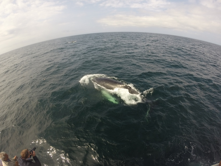 Humpback whale at the waters surface